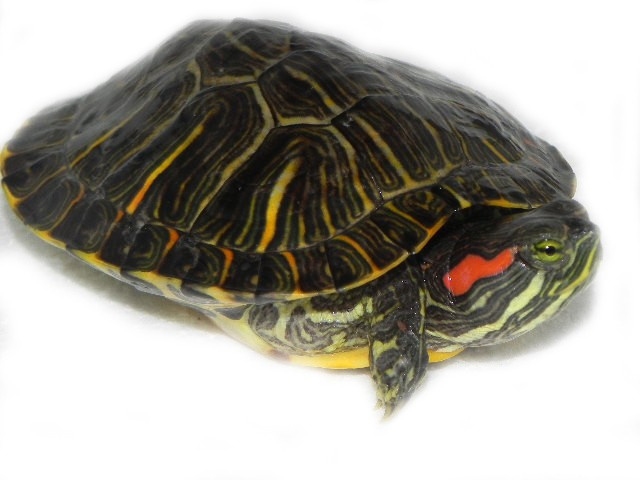 Buy Live Turtles Online